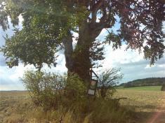 Buk lesní - chráněný strom